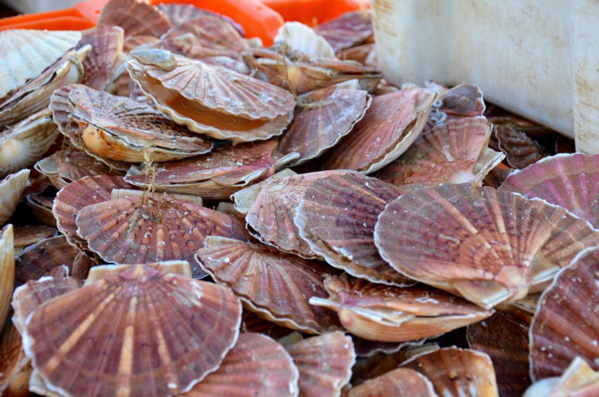 Bac de coquilles Saint-Jacques fraîchement pêchées - Port de Trouville-sur-Mer