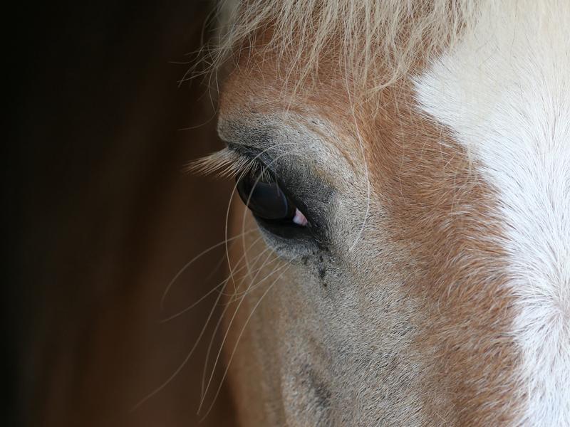 Detail-cheval-Normandie