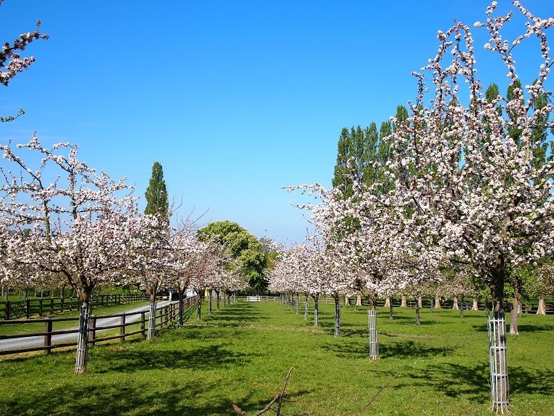 Pommiers-en-fleur