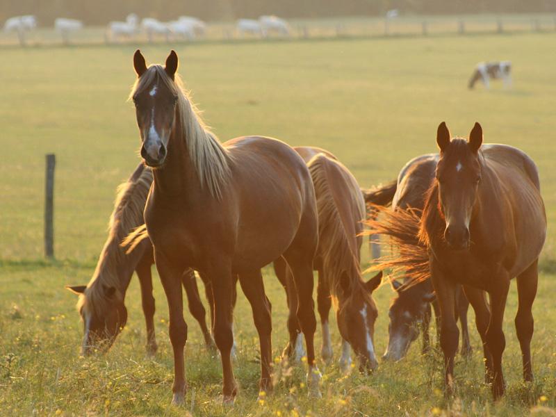 chevaux-champ-calvados
