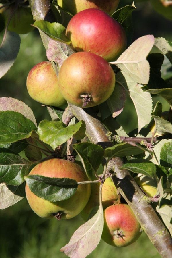 pommes-a-cidre